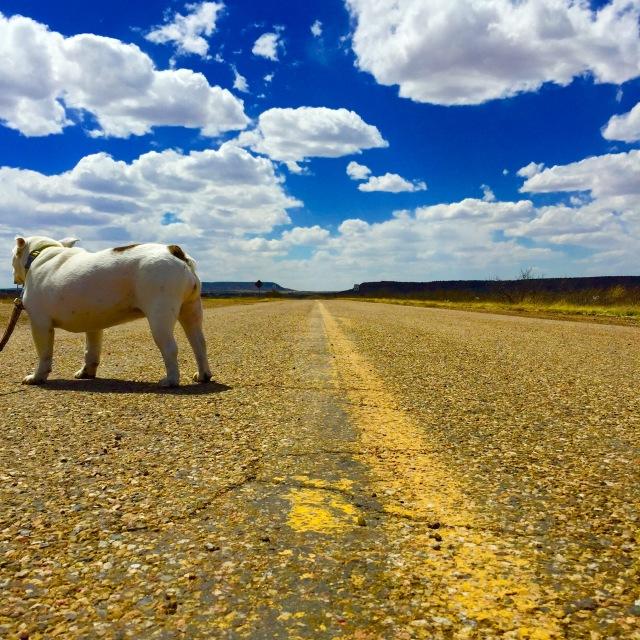 Our Bulldog Queenie exploring Route 66