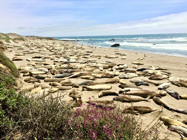 Viewed (and smelled) hundreds of Elephant Seals in San Simeon, CA
